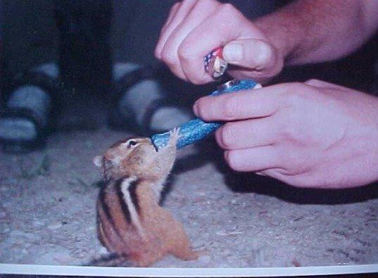 Veverka za ochotné pomoci technařů kouří marihuanu!